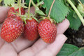 Four red strawberries in a woman`s hand Royalty Free Stock Photo