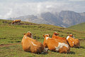 Four resting cows Royalty Free Stock Photo