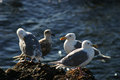 Four seagulls standing on a rocky shoreline the sun was going down and showed these birds in a warm light Royalty Free Stock Photo