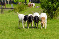 Four sheep Royalty Free Stock Photo