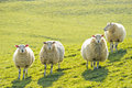 Four sheep standing facing camera Royalty Free Stock Photo