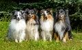 Four Shetland Sheepdog.