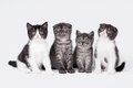 Four small scottish fold and straight kittens Stock Images