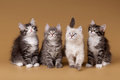 Four small siberian kittens Stock Images