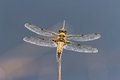 Four spotted chaser dragonfly with blue background Royalty Free Stock Photo