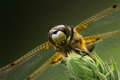 Four Spotted Chaser Dragonfly closeup Stock Photo