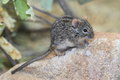 Four-striped grass mouse Royalty Free Stock Photo