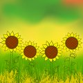Four sunflower plants field sunset vector illustration farmers market sunflower oil concept positive growth harvesting investing Royalty Free Stock Photography