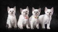 Four thai kittens in fog on black background small Royalty Free Stock Images
