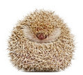 Four-toed Hedgehog, Atelerix albiventris Royalty Free Stock Images
