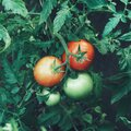 four tomatoes green and red hanging on a plant with leaves Royalty Free Stock Photo
