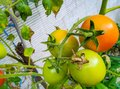 Four tomatoes hanging from the tree Royalty Free Stock Photo