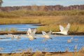 Four trumpeter swans taking flight cygnus buccinator Stock Photos