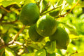 Four unripe green lemon on the tree Royalty Free Stock Photo