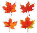 Four variants of the same maple leaf Stock Photo