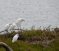 Four White Egrets Royalty Free Stock Photos