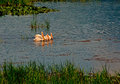 Four white pelicans this image shows swimming together in an idaho pond Royalty Free Stock Image
