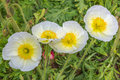 Four White Poppies Royalty Free Stock Photo