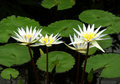 Four White Water Lilies Royalty Free Stock Photo