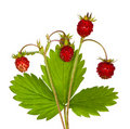 Four wild strawberries Royalty Free Stock Images