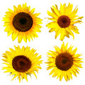 Four yellow sunflower Royalty Free Stock Photo