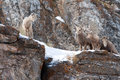 Four young Bighorn Sheep on snowy cliff's edge near Jackson Wyoming Royalty Free Stock Photo