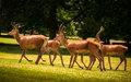 Four Young Red Deer Walking Royalty Free Stock Photo