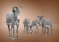Four zebra zebras on a brown background Stock Images