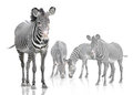 Four zebra zebras are on a white background Royalty Free Stock Image