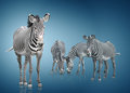 Four zebra zebras are on a white background Royalty Free Stock Photos
