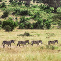 Four zebras walking in serengeti national park reminiscent to cover of abbey road by the beatles Stock Images