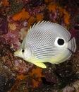 Foureye Butterflyfish Imagen de archivo