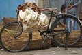 Fowl Bicycle Royalty Free Stock Photography
