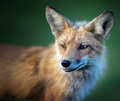 Fox Photo stock