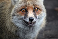 Fox Photos libres de droits
