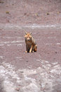 Fox in bolivia Royalty Free Stock Photo