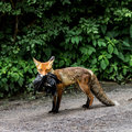 Fox carries its prey across the way Royalty Free Stock Images