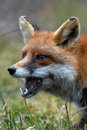 Fox closeups in the woods hunting Royalty Free Stock Photography