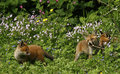Fox Cubs Playing in Wild Flower Meadow