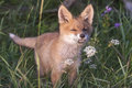 Fox cub in meadow wandering green and learn about flowers Stock Photography