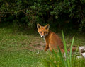 Fox Cub sitting Royalty Free Stock Photos