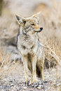 Fox death valley national park california usa Royalty Free Stock Photography
