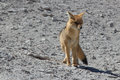 Fox in the desert Royalty Free Stock Photo