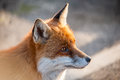 Fox face Royalty Free Stock Photo