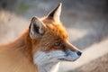 Fox face Royalty Free Stock Photo