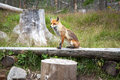 Fox in forest at High Tatras, Slovakia Royalty Free Stock Photo