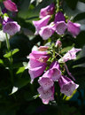 Fox glove blooms Royalty Free Stock Photo