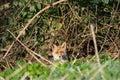 Fox Hiding in Urban area Royalty Free Stock Photo