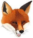 A fox illustration of on white background Royalty Free Stock Images