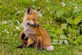Fox kit Royalty Free Stock Photos